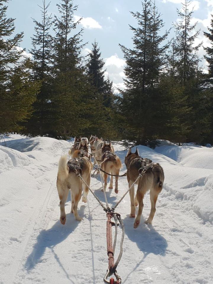 Plimbare cu sania trasa de husky, o experienta uimitoare inRomania